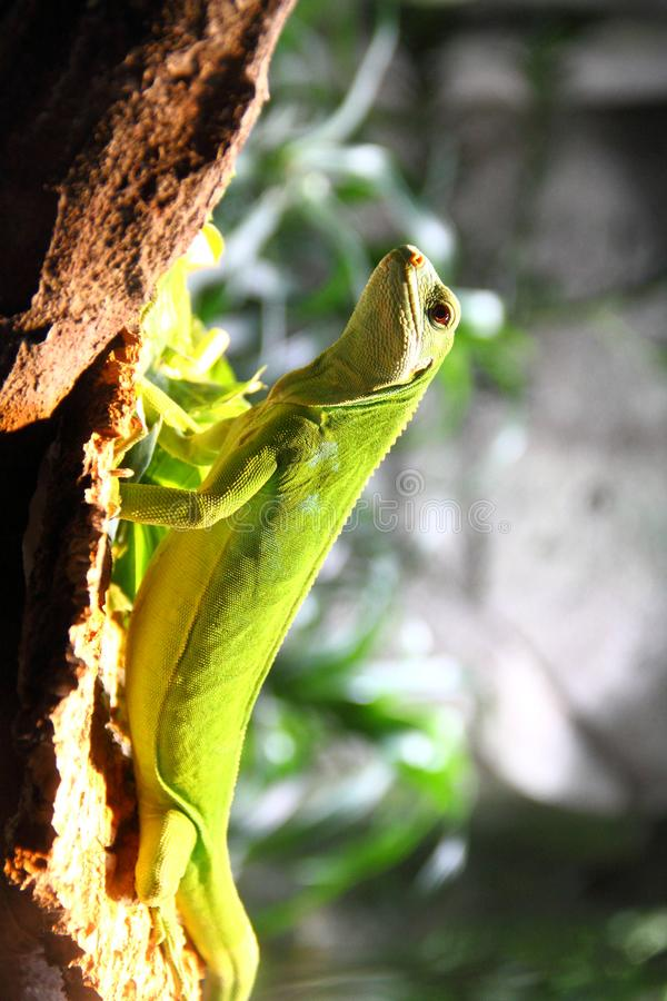 Den gröna leguanen klättrar upp på klippan royaltyfri bild