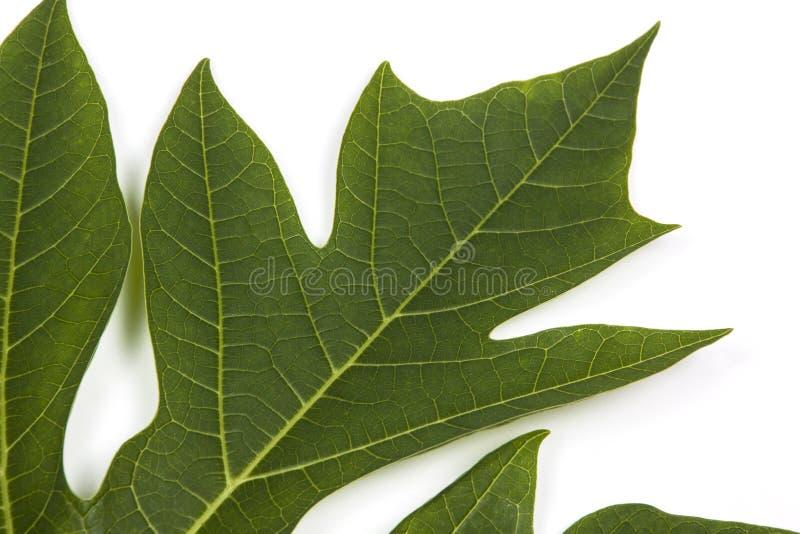 Den gröna modellen och textur av Pawpawträdet spricker ut royaltyfri foto