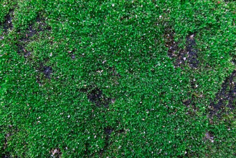 Den gröna mossan, grön lav royaltyfri bild