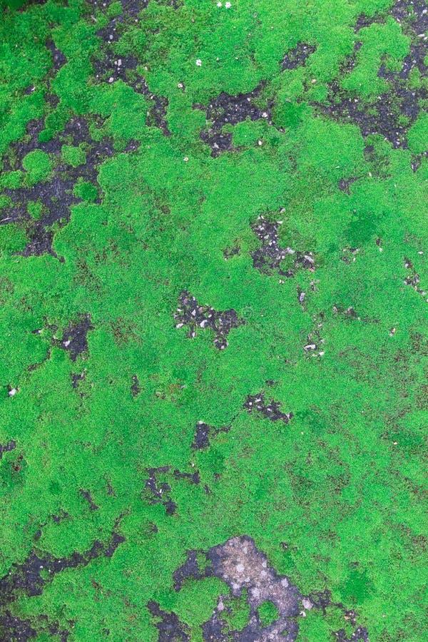 Den gröna mossan, grön lav royaltyfria foton