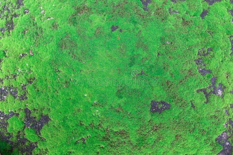 Den gröna mossan, grön lav arkivbild