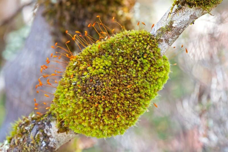 Den gröna mossatofsen klumpa sig med Sporophytes och apelsinkapselcoveri royaltyfri fotografi