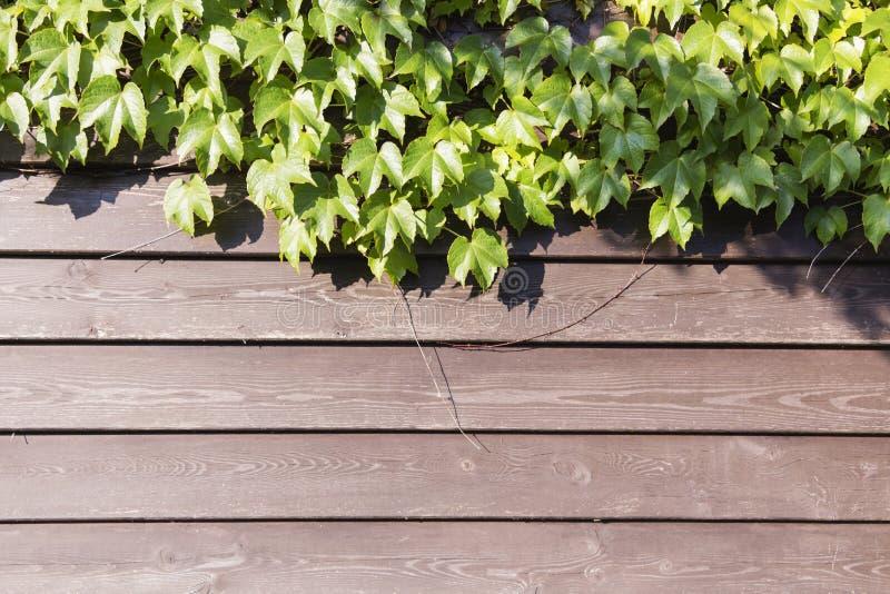 Den gröna murgrönan lämnar klättring på det gamla grungy trädgårds- staketet Gamla wood plankor som täckas av gröna sidor royaltyfria bilder