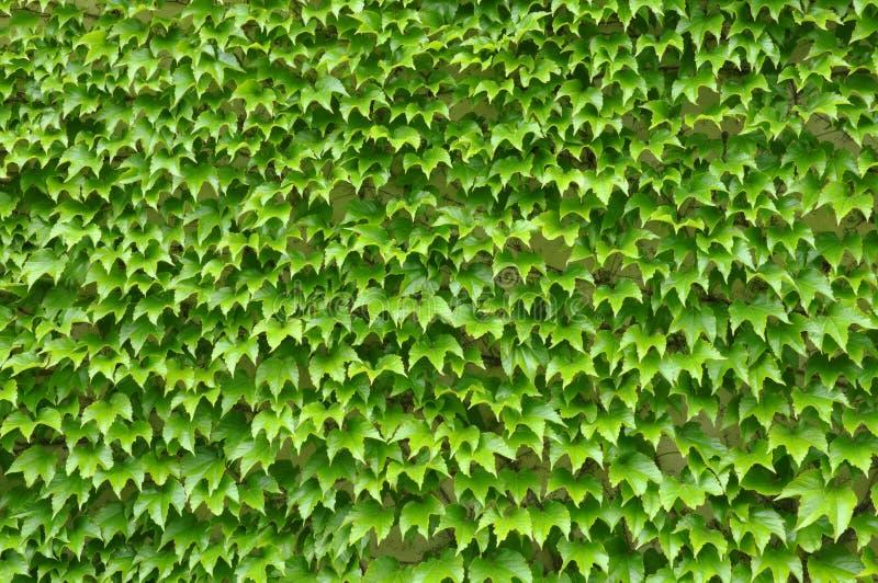 Den gröna murgrönan lämnar väggen royaltyfri fotografi