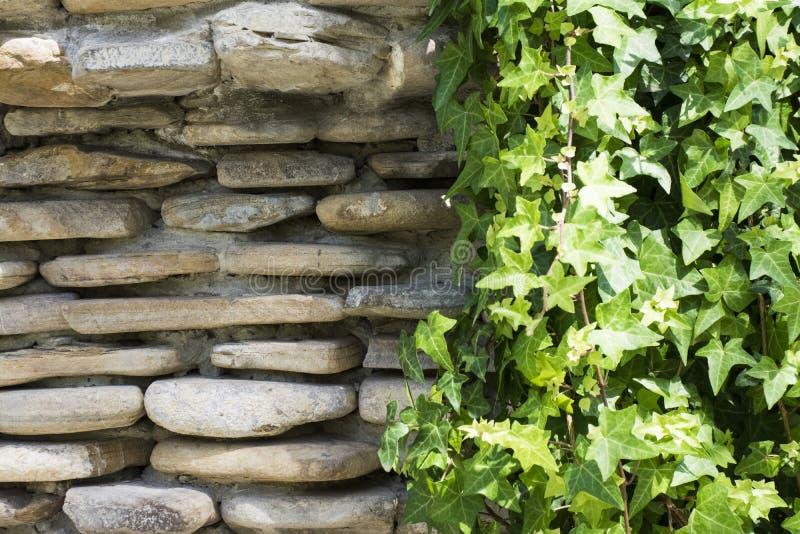 Den gröna murgrönan vaggar på väggen fotografering för bildbyråer