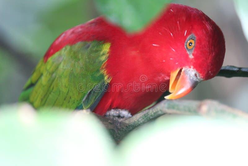Den gröna och röda fågeln med skarpa ögon fotografering för bildbyråer