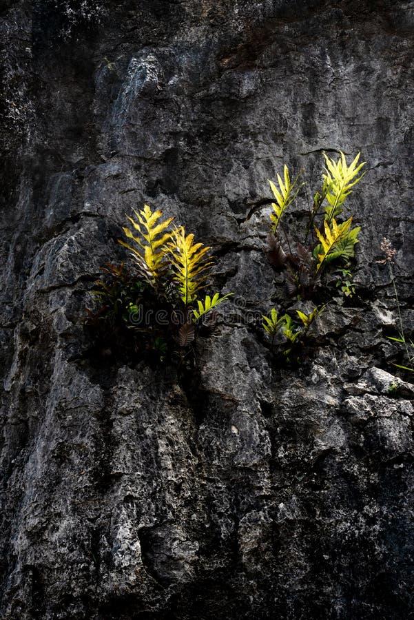 Den gröna ormbunken lämnar att växa på den vulkaniska överkanten av hård granit vaggar med molnig blå himmel i bakgrund royaltyfria bilder