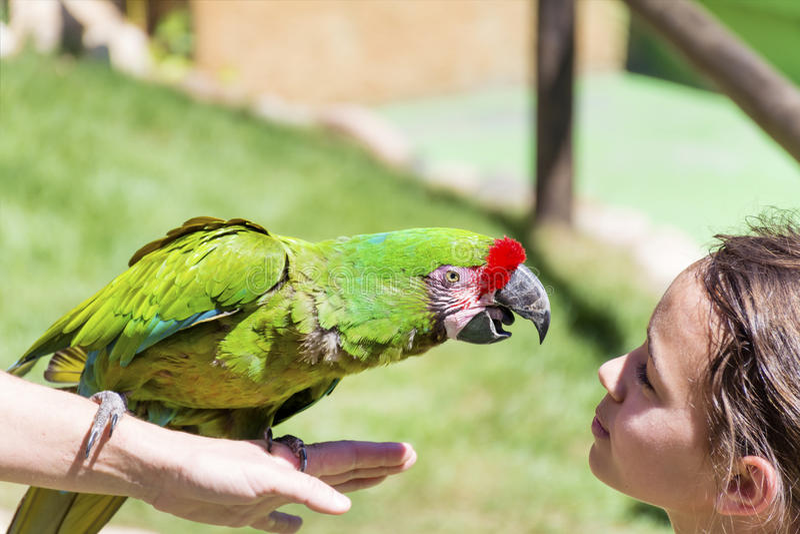 Den gröna papegojan som kysser en flicka - älska djur arkivfoto
