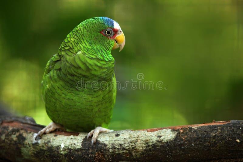 Den gröna papegojan Vit-beklädde amasonen, Amazonaalbifrons, Belize arkivbild
