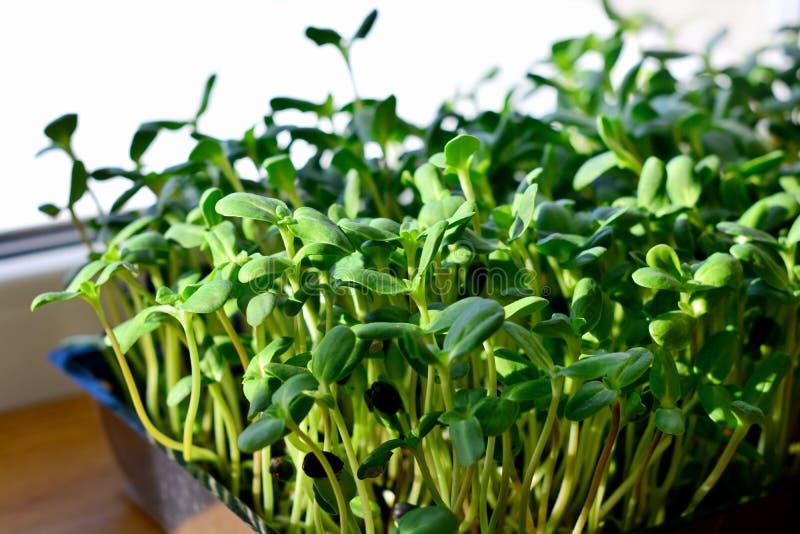 Den gröna solrosen spirar - begreppet för sund näring, closeup royaltyfria foton