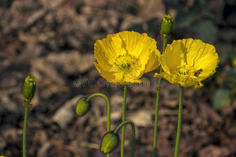 Den gröna stammen slår ut och två blomma gula Island vallmo royaltyfri bild