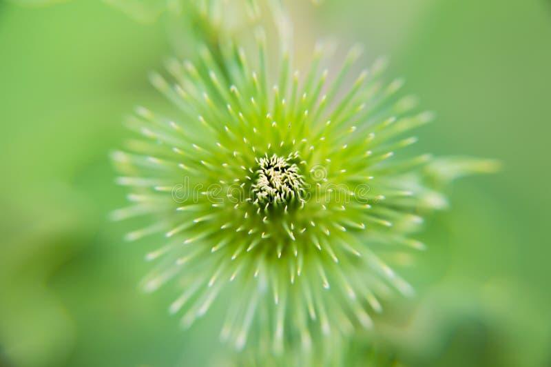 Den gröna taggiga blomman av växten är ut ur fokus fotografering för bildbyråer