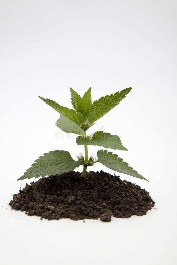 Den gröna växten smutsar in royaltyfri bild