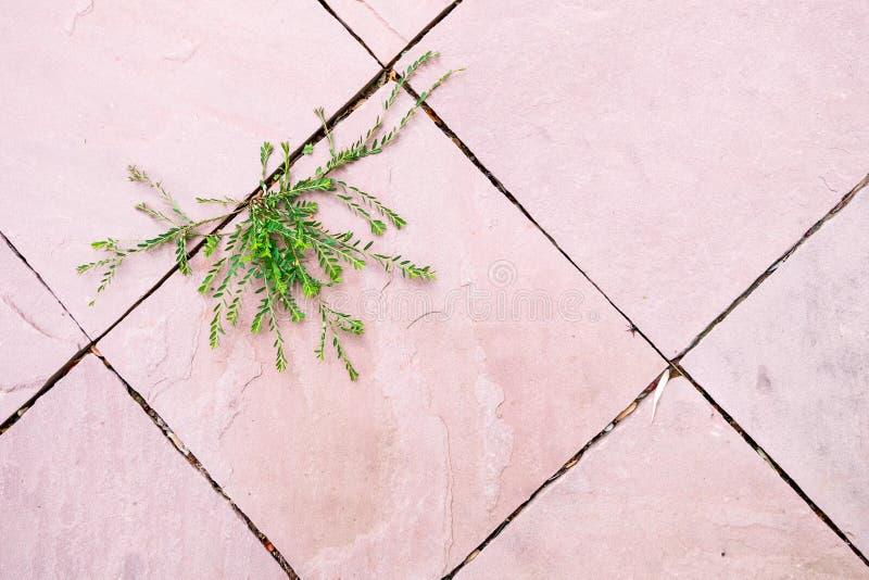 Den gröna växten som växer mellan rosa färger, ytbehandlar konkret golvmellanrum i härlig form hopp av Hög-tangenten för livabstr royaltyfria bilder