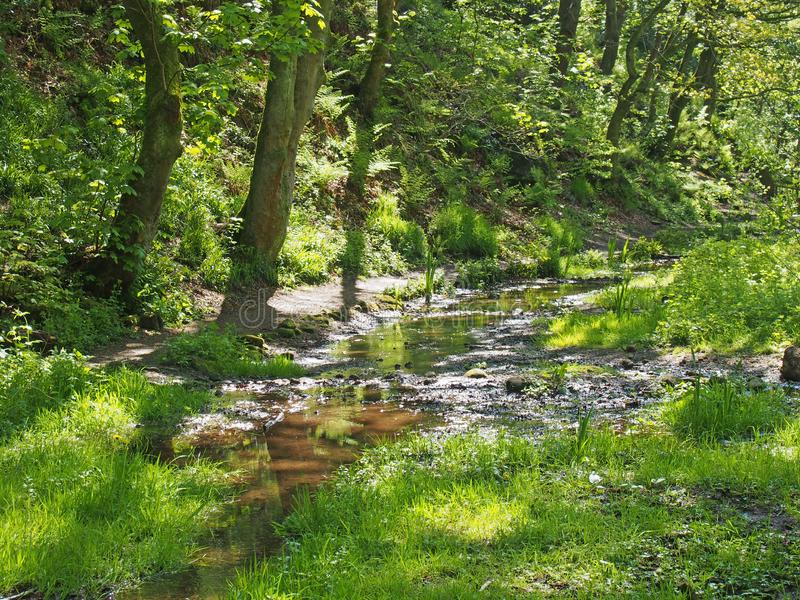 Den gröna vårskogsmarken med en ström som ändå kör sumpigt gräs och högväxta bokträdträd i nutcloughträn nära, hebden bron royaltyfria bilder