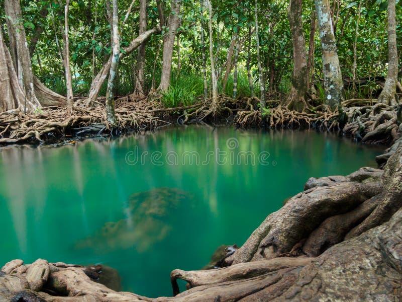 Den gröna vattenfallet för vattensjöfloden med rotar trädet på Tha Pom Klong Song Nam, Krabi, Thailand royaltyfria bilder