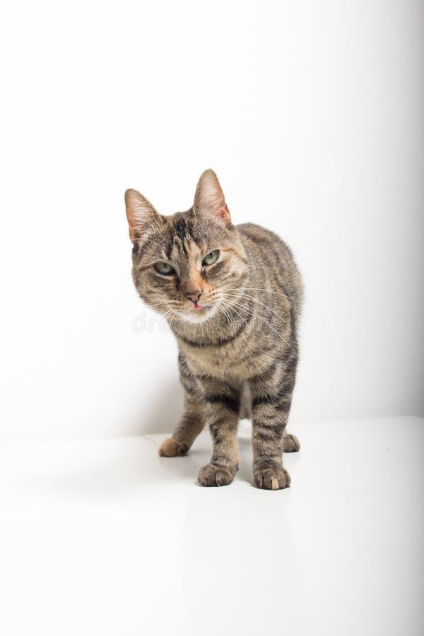 Den gr?a strimmig kattkatten ser in i kamera royaltyfri foto