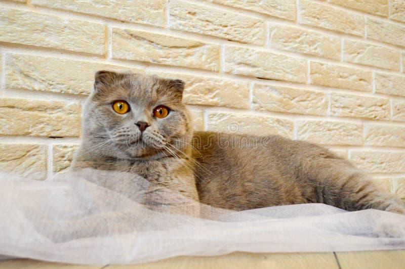 Den Gray British katten med apelsinen synar på en bakgrund royaltyfria bilder