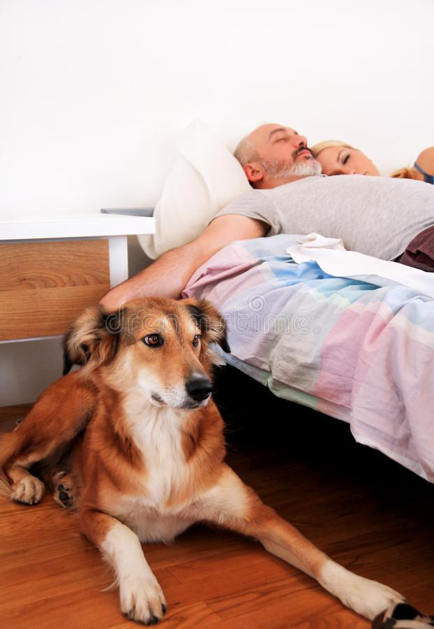 Den grova colliehunden ligger nära till sängen och vilar i morgon royaltyfri bild