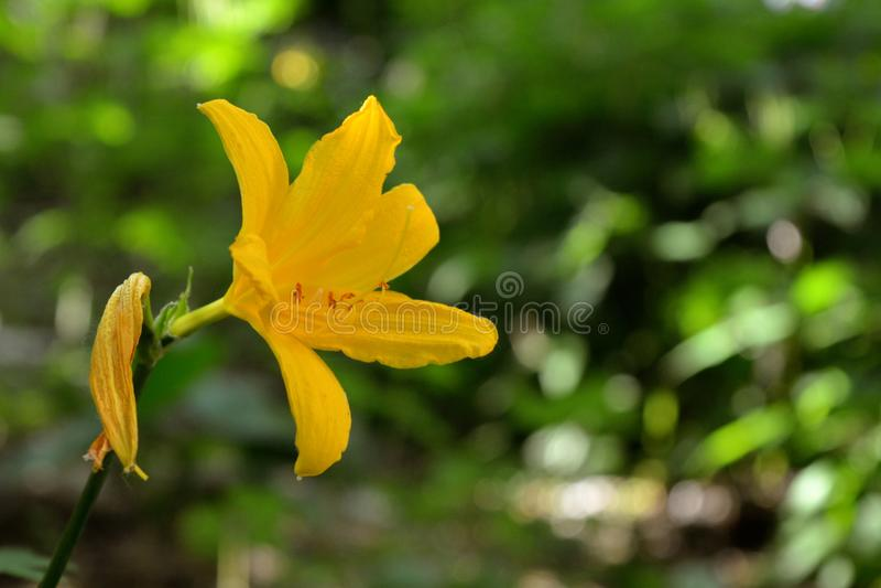 Den gula dag-liljan på gräsplan lämnar bakgrund arkivbild