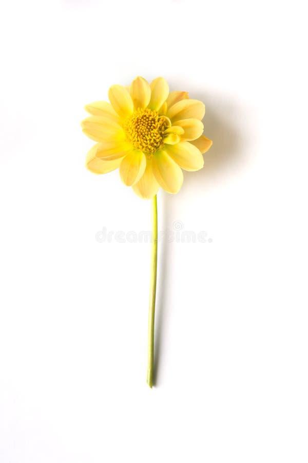 Den gula dahliablomman ligger på en vit bakgrund royaltyfria foton