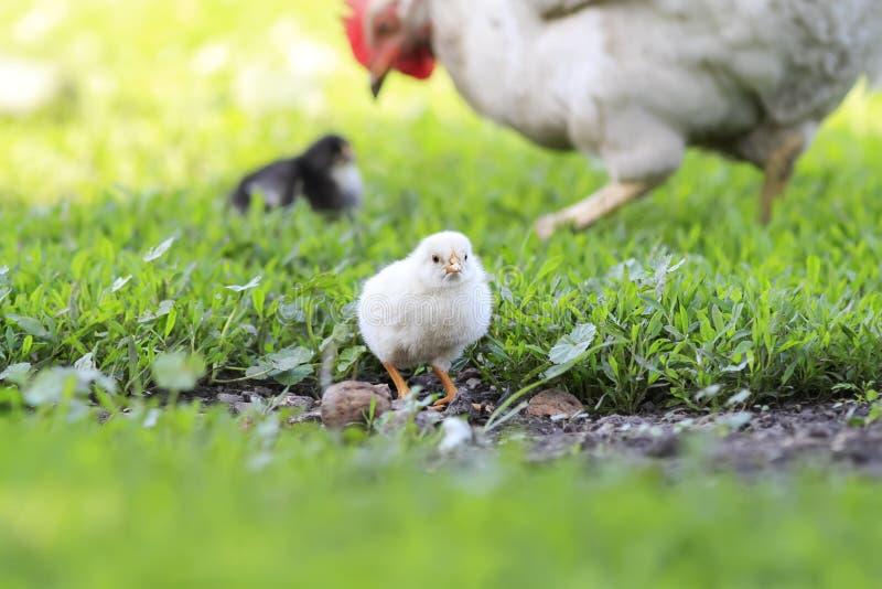 den gula fågelungen går över gården med hönan på en solig sommardag royaltyfri fotografi