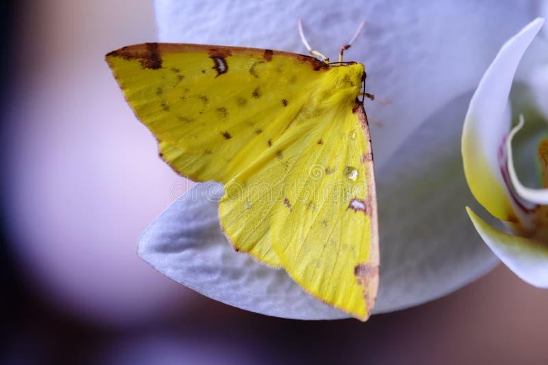Den gula fjärilen lägger över en orkidé arkivfoto