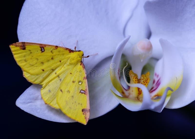 Den gula fjärilen lägger över en orkidé arkivbild