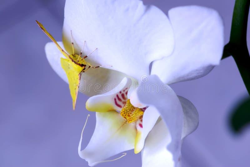Den gula fjärilen lägger över en orkidé royaltyfria bilder