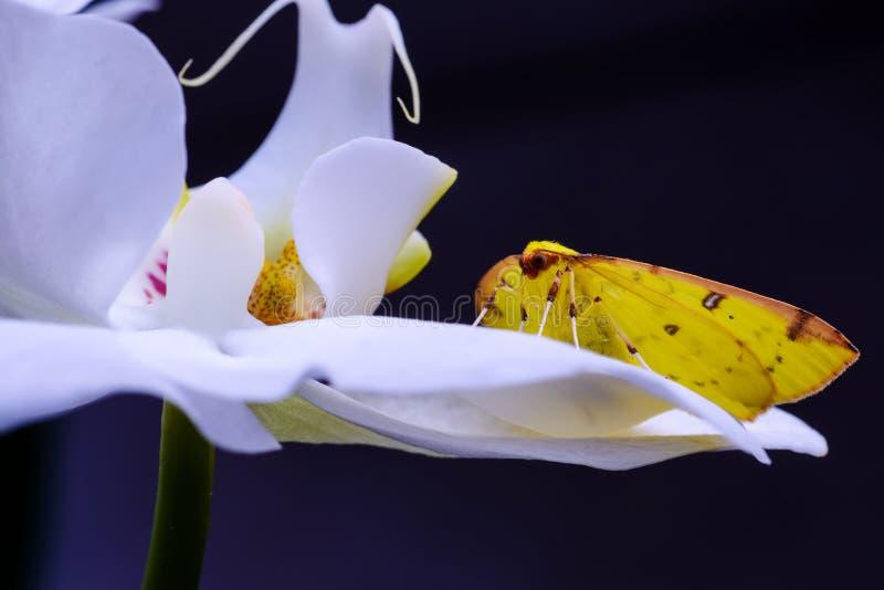 Den gula fjärilen lägger över en orkidé arkivfoton