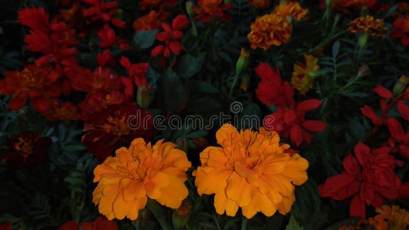 Den gula gadaen blommar nattetid royaltyfria foton