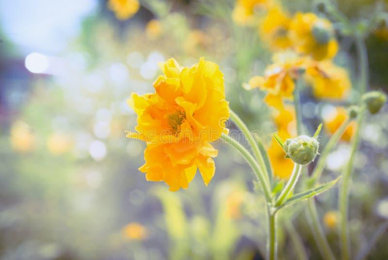 Den gula geumen blommar i trädgård eller parkerar säng på solig dag arkivbild