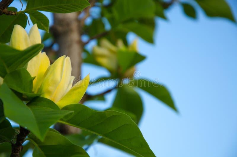 Den gula magnolian blommar mot bakgrunden för blå himmel arkivfoton