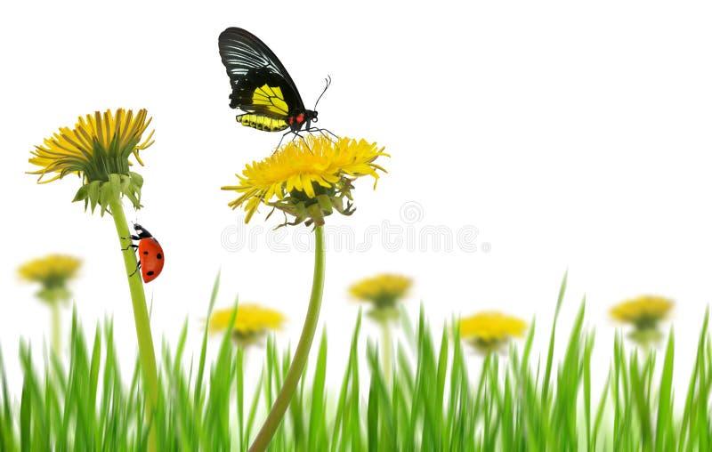 Den gula maskrosen blommar med fjärilen och nyckelpigan i gräs på en vit bakgrund royaltyfri foto