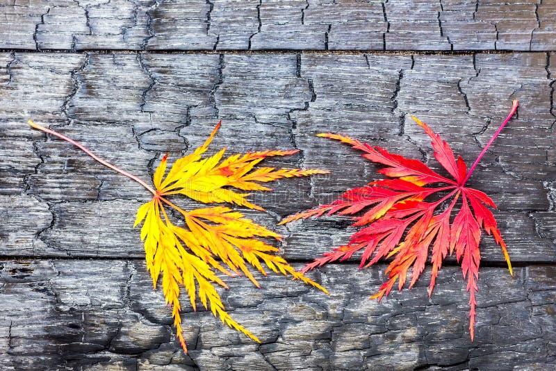 Den gula och röda lönnlövet på svart brände trä fotografering för bildbyråer