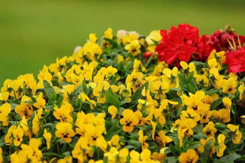 Den gula och röda penséen blommar på grön bakgrund fotografering för bildbyråer