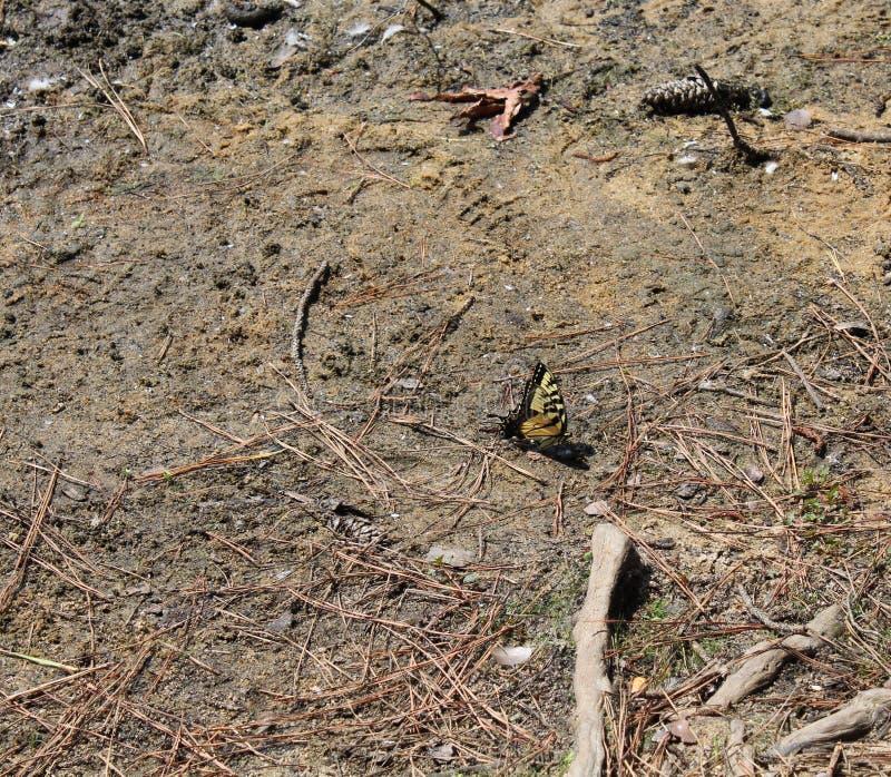 Den gula och svarta fjärilen landade fotografering för bildbyråer