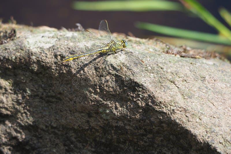 Den gula och svarta sländan som sätta sig på, vaggar i floden ulla, santiso, lacoruña royaltyfria bilder
