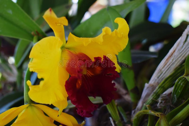 Den gula orkid?n royaltyfria foton