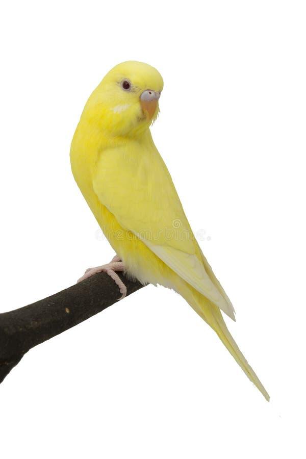 Den gula papegojan är på en filial. royaltyfria bilder