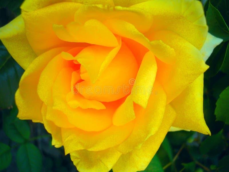 Den gula rosen av happines arkivbild
