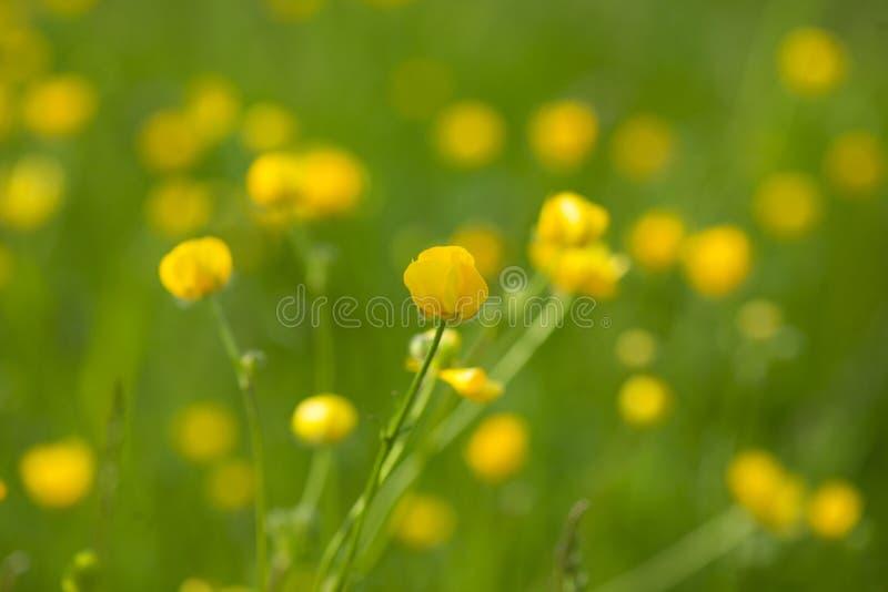 Den gula smörblomman blommar i äng bland grönt gräs i sommardag Bakgrund arkivbild