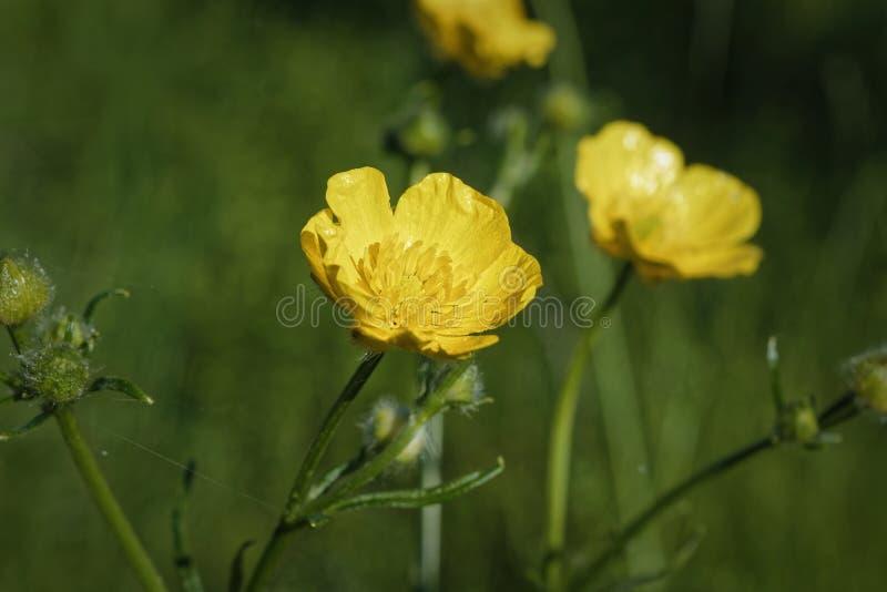 Den gula smörblomman blommar på en suddig bakgrund royaltyfria foton