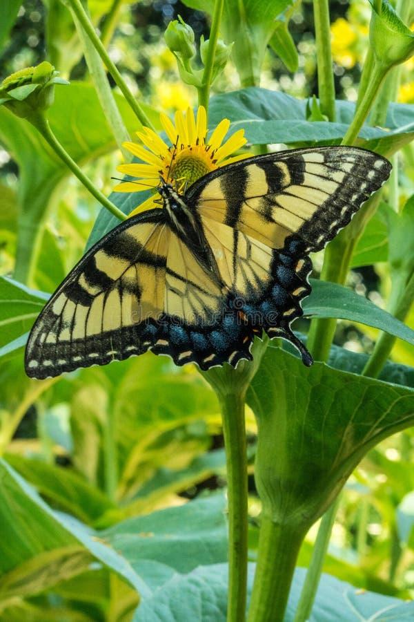 Den gula Swallowtail fjärilen som vilar på tusenskönan, vingar öppnar royaltyfri fotografi
