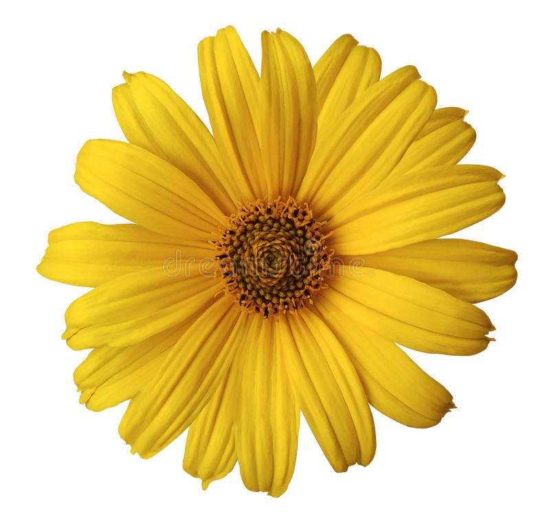 Den gula tusenskönablomman på en vit isolerade bakgrund med den snabba banan Blomma för designen, textur, vykortet, omslag closeu royaltyfria foton