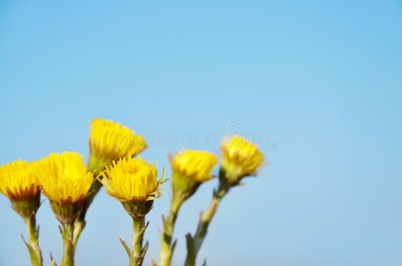 Den gula tussilagot blommar Tussilagofarfara arkivbilder