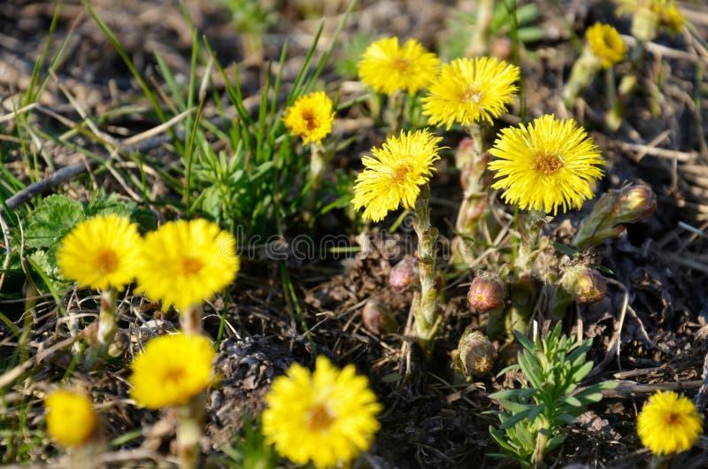 Den gula tussilagot blommar Tussilagofarfara arkivfoton
