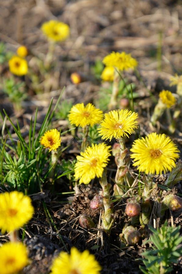 Den gula tussilagot blommar Tussilagofarfara royaltyfria bilder