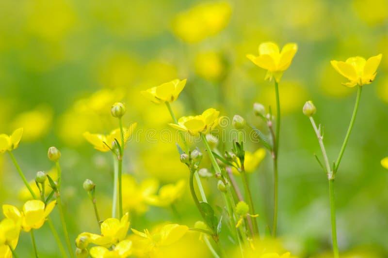 Den gula våren blommar smörblommabakgrund royaltyfria foton