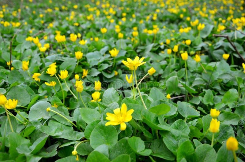 Den gula v?ren blommar i ?ngen arkivfoto